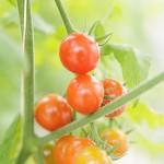 極小野菜(小さい野菜)は栄養満点!料理に花?